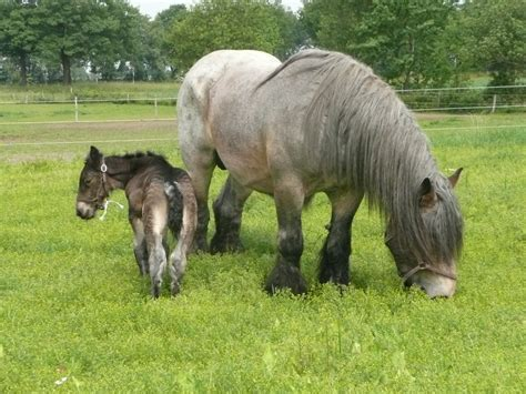 tails horses docked dutch draft fairs exhibiting ban total breed