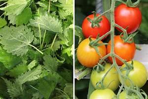 Tomaten Düngen Hausmittel : tomaten d ngen wie oft empfehlungen f r tomatend nger ~ Whattoseeinmadrid.com Haus und Dekorationen