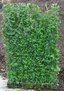 Langsam Wachsende Hecke : die besten 25 immergr ne hecke ideen auf pinterest schnell wachsende heckenpflanzen hecken ~ Orissabook.com Haus und Dekorationen