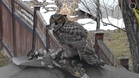 Do Barn Owls Eat Cats great horned owl its prey lakeshoreparadise b