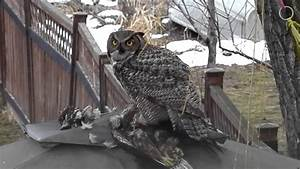 GREAT HORNED OWL EATING ITS PREY......lakeshoreparadise b ...