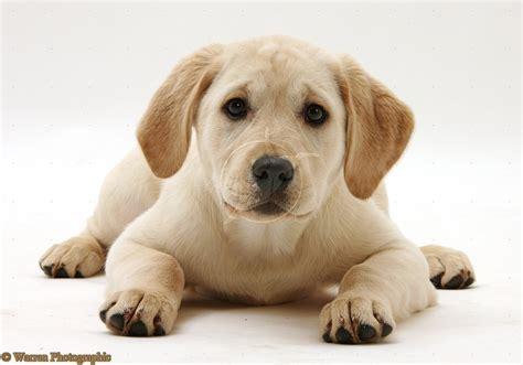 cute dogs yellow labrador retriever