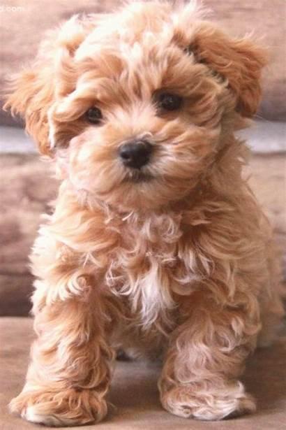 Puppies Dogs Maltipoo Youpinone