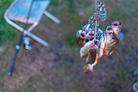fishing stringer stock image image   equipment