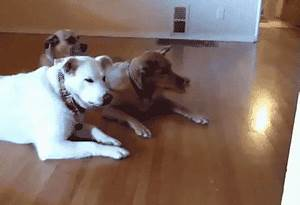 Dog Roomba GIF by Cheezburger - Find & Share on GIPHY