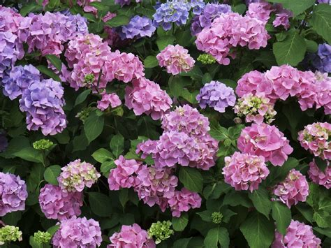hydrangea flower care how to grow and care for hydrangeas