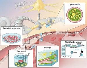 Blood-brain barrier modeling: challenges and perspectives ...