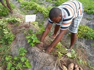 Culture De La Patate Douce : le retour de la patate douce les experts agronomes ~ Carolinahurricanesstore.com Idées de Décoration