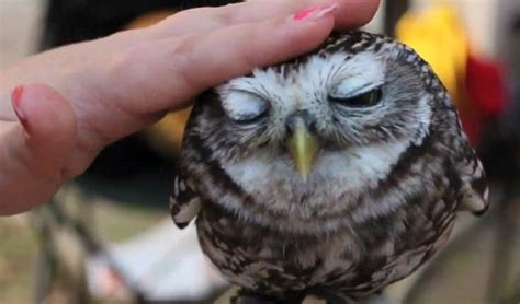 owls as pets still want that kitten the adorable baby owl who loves being petted daily mail online