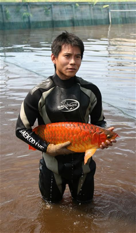 supper red arowana fishid product details view