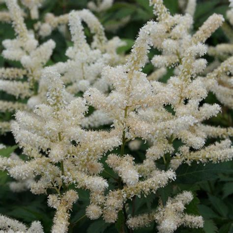 shade plants washington state 25 best ideas about astilbe japonica on pinterest astilbe flower peach blossoms and shade