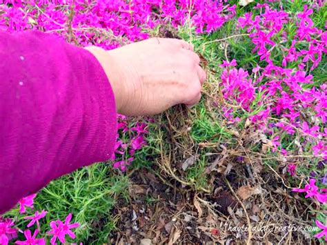 hometalk transplanting creeping phlox in garden