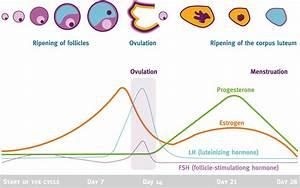 Menstrual Cycle; Endometrial Cycle; Ovarian Cycle