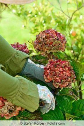 hortensien zurueckschneiden zeitpunkt und anleitung