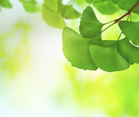 Ginkgo Leaves Bing Wallpaper Download