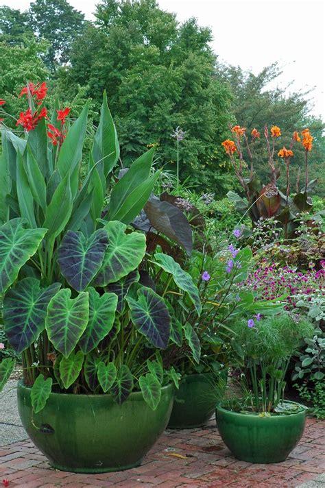 canna in pots cannas in pots pot 233 es de fleurs