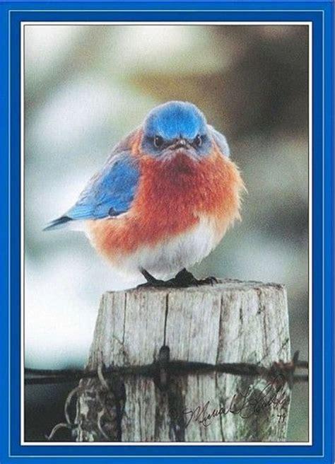 grumpy bluebird birds juxtapost