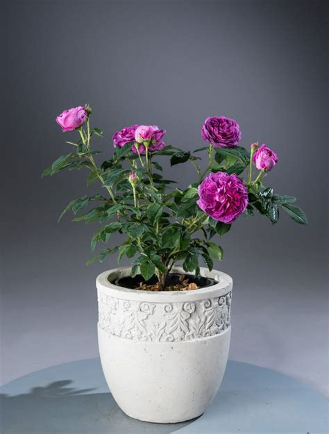 historische rose charles de milles rosa charles de