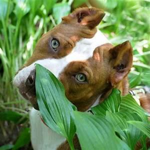 Green eyed pit | Doggy-Style | Pinterest