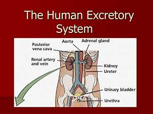Human Excretory System Diagram Labeled  U2013 Best Diagram