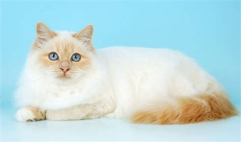 Birman Cat Breed Information