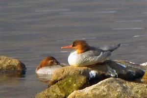 Birds Korea - Key Species - Scaly-sided Merganser Survey ...