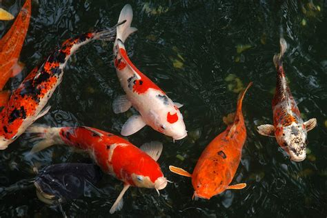 koi carp  japan art print  unknown artist icanvas