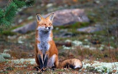 Fox Animals Nature Smiling Animal Desktop Wallpapers