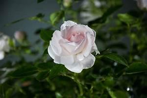 Rosen Kaufen Günstig : bodendeckerrose aspirin rosa aspirin g nstig online kaufen ~ Markanthonyermac.com Haus und Dekorationen