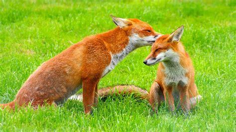 beautiful fox couple kisses  care hd wallpapers rocks
