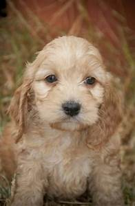 1000 Images About Oodle Spoodle Cockerpoo Cockapoo On