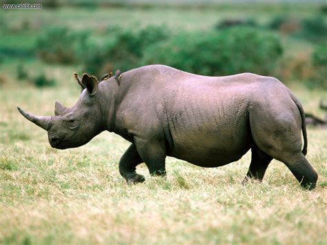 encyclopedia  animal facts  pictures rhinoceros