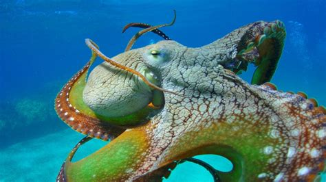 Octopus Close Colors Of Octopus Tentacles Eyes Wallpaper Hd For Desktop