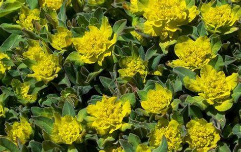 euphorbia plant varieties pics for gt euphorbia plant varieties