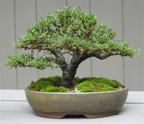 Bonsai Baum Preis by 25 Best Ideas About Cotoneaster Bonsai On