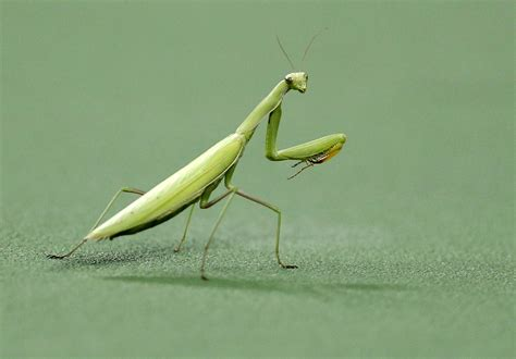 How Praying Mantises Could Help Build Better Robots