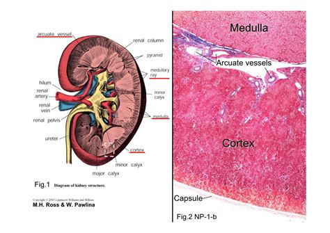 Diagram Of The Kidney Structure by Block8 Fig 1 Diagram Of Kidney Structure