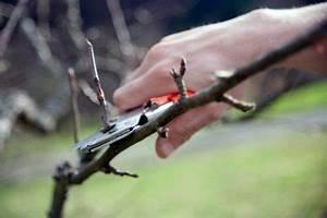 Wann Wird Lavendel Geschnitten : baumschnitt beim apfelbaum wann wie wird geschnitten ~ Lizthompson.info Haus und Dekorationen