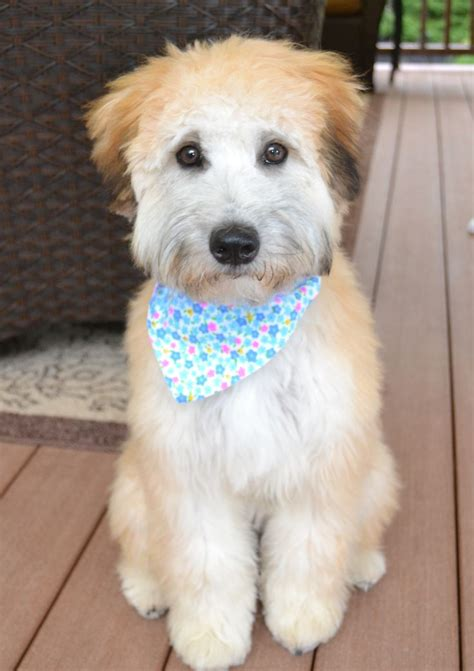 wheaten terrier mix shedding 1000 ideas about poodle mix on poodle mix