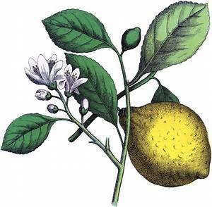 Fantastic Botanical Lemon Image! - The Graphics Fairy