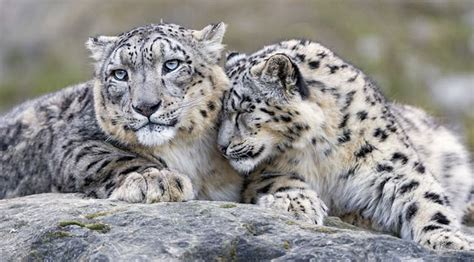 majestic long endangered snow leopard