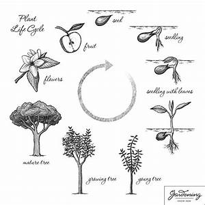 Life Cycle Of A Flowering Plant Diagram For Kids | www ...