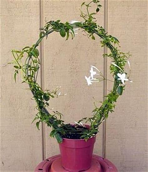 jasminum polyanthum en pot pink plant jasminum polyanthum fragrant 2 5 quot pot in the uae see prices