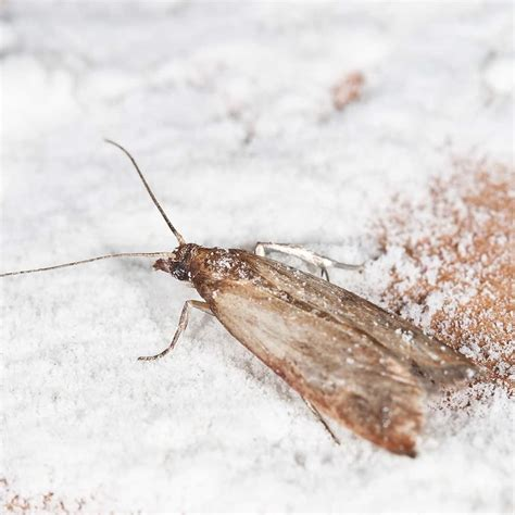 How To Get Rid Of Kitchen Moths Naturally Wow Blog