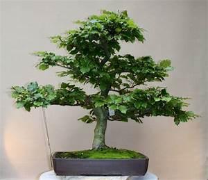 Weinreben Schneiden 1 Jahr : bonsaiarbeitskreis hildesheim ~ Lizthompson.info Haus und Dekorationen