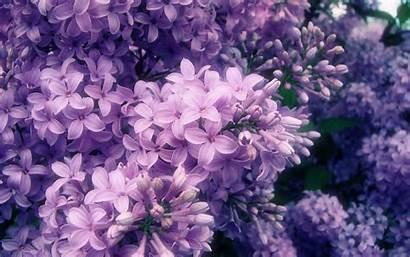 Lilac Purple Wallpapersafari Wallpapers