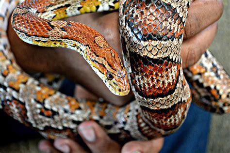 Non-Venomous Snakes   Maymont Foundation