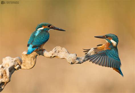 stunning photographs  kingfisher bird incredible snaps