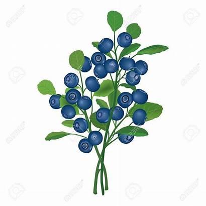 Blueberry Berry Bush Clipart Blueberries Bushes Berries