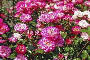 Rosen Schneiden Zeitpunkt : rosen schneiden wie sie am besten vorgehen gartenpflanzen garten ~ Frokenaadalensverden.com Haus und Dekorationen